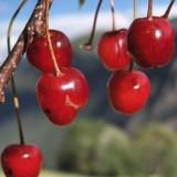 Le ciliegie, ricche di antociani, sono indicate nella prevenzione dell'endometriosi e nella dieta anti dolore