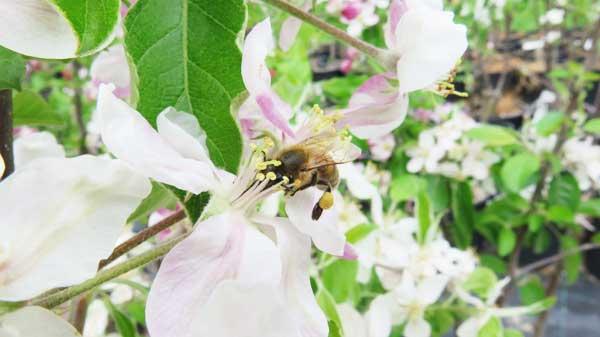 ape-in-fiore-melo